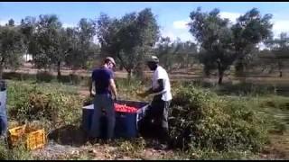 Cerignola, pomodori antimafia