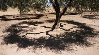 """Xylella, la Ue: """"Abbattete tutti gli alberi"""", Cia Puglia: """"Fare subito chiarezza"""""""