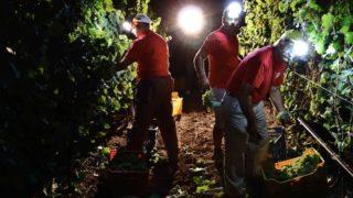 E' la notte dell'uva: a Foggia comincia la vendemmia