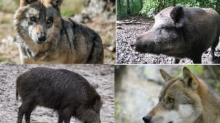 Lupi, storni, cinghiali: emergenza sul Gargano e in tutta la Puglia