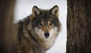 """Aggressioni dei lupi agli allevamenti di Monte S.Angelo, la CIA """"E' emergenza"""""""