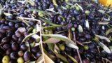 Olio di Puglia IGP, finalmente il riconoscimento dell'Europa: ecco il disciplinare